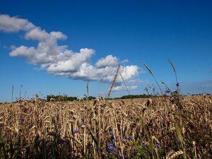 Feld am Kap Arkona auf der Halbinsel Wittow im Norden der Insel Rügen